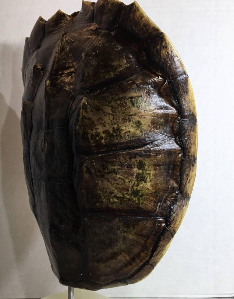 Genuine American Fresh Water Snapping Turtle Shell For Sale 3