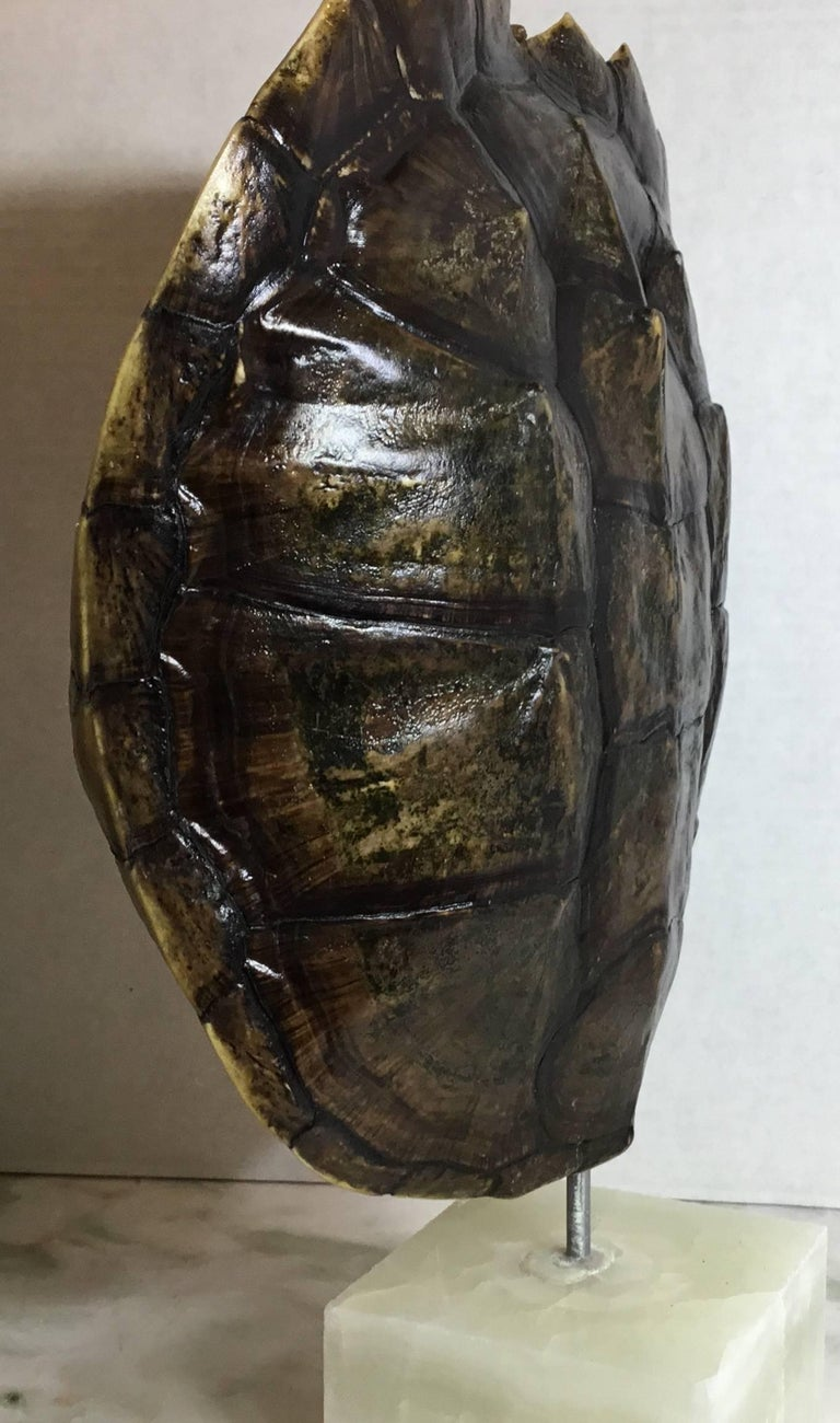 Genuine American Fresh Water Snapping Turtle Shell For Sale 4