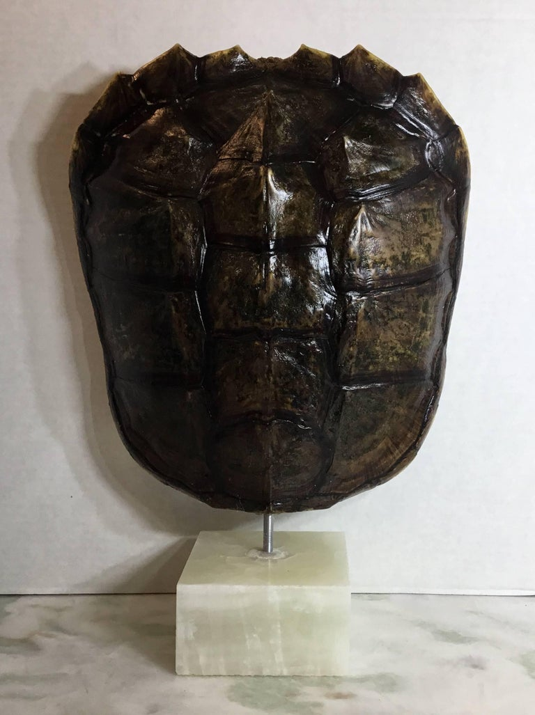 Genuine American Fresh Water Snapping Turtle Shell For Sale 7