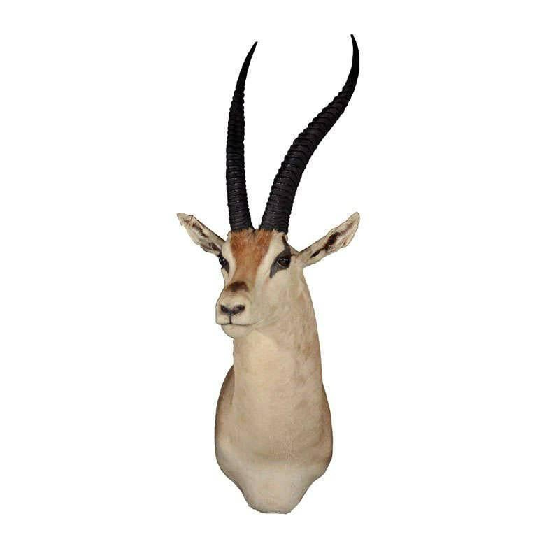 Vintage African Antelope Gazelle Mounted Taxidermy
