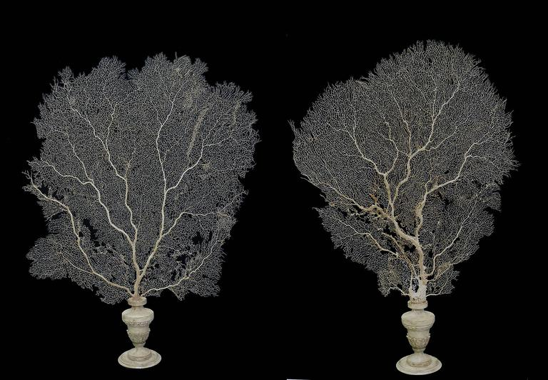 A beautiful and unusual pair of Wunderkammer Specimens. The plinths are made out of white wood (vase shape). Over the base, exceptionally wide and tall branches of natural pale beautiful yellow horny coral natural specimen. The price is intended for