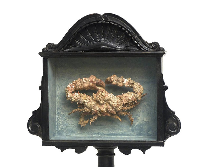 A rare marine natural wunderkammer specimen of a crab. The specimen is stuffed and mounted inside a painted black wooden show case with glass, Italy, circa 1880.