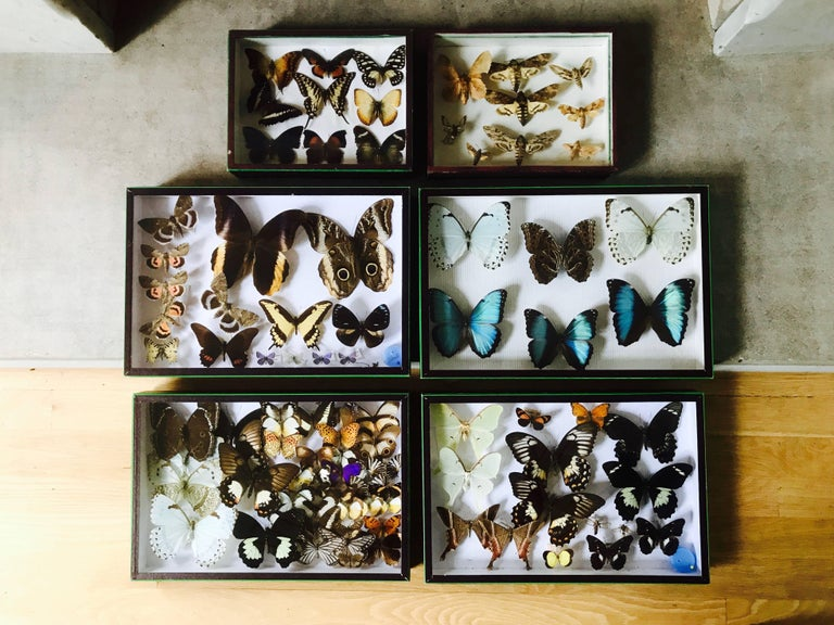 Fabulous sett of collected butterflies in faux snakeskin edged boxes with a neon green welt.  Very well preserved.