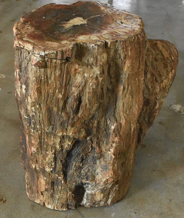 Early Fossilized Petrified Wood Stump from Madagascar, Africa In Good Condition In Houston, TX