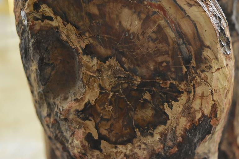 Early Fossilized Petrified Wood Stump from Madagascar, Africa 3