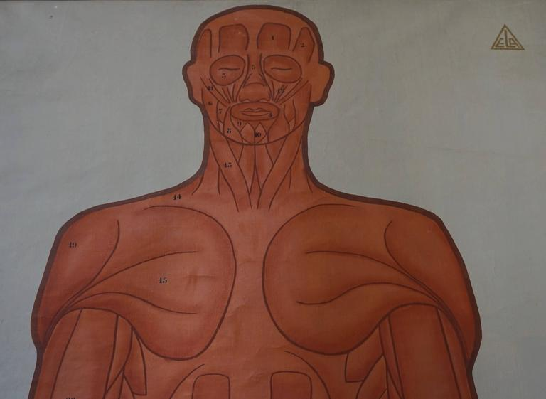 Vintage Anatomical Chart Muscular Structure of Man In Excellent Condition For Sale In Antwerp, BE
