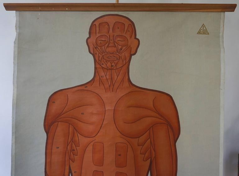 Dutch Vintage Anatomical Chart Muscular Structure of Man For Sale