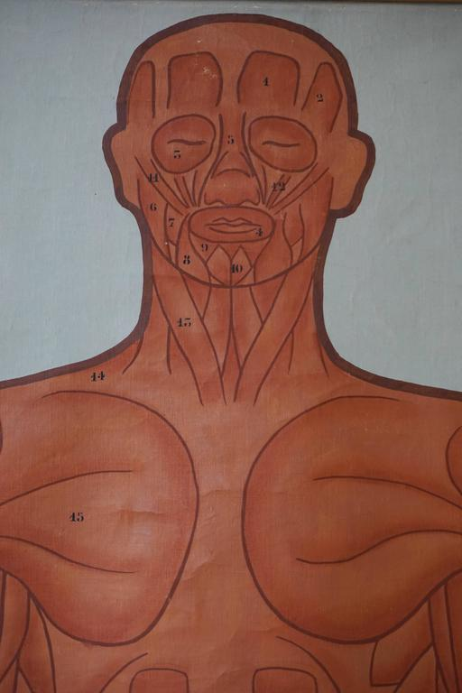 20th Century Vintage Anatomical Chart Muscular Structure of Man For Sale