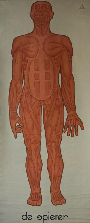 Vintage anatomical chart muscular structure of man.
