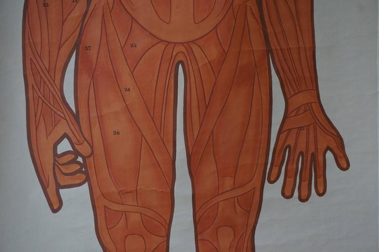 Vintage Anatomical Chart Muscular Structure of Man For Sale 1