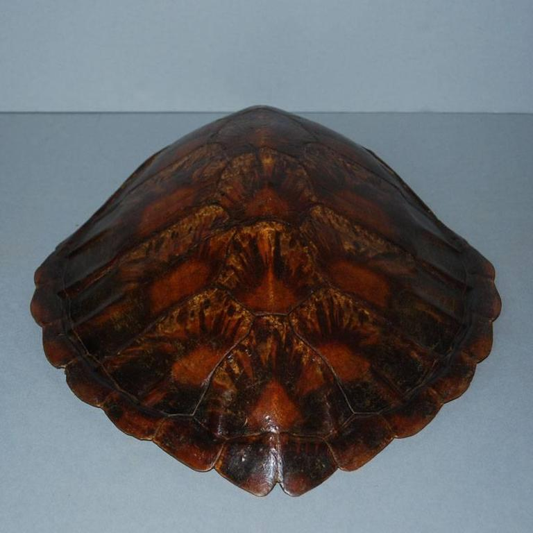 20th Century Sea Turtle Shell Shield on Stand 2