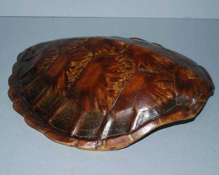 20th Century Sea Turtle Shell Shield on Stand 3
