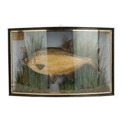Taxidermy, Cased Bream by Cooper