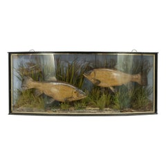 Pair of Taxidermy Fish, Tench in Glass Case by Cooper