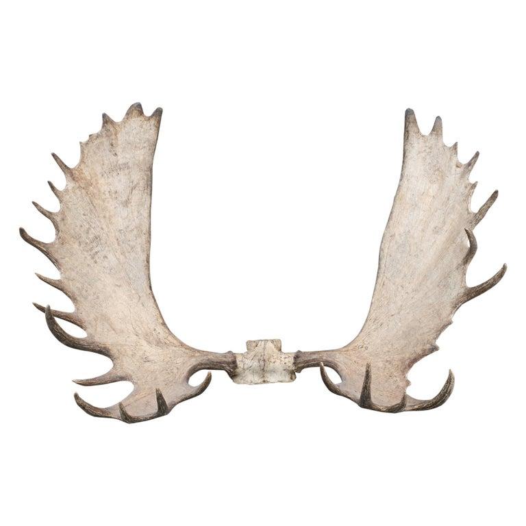 Alaskan Big Game Trophy Moose Antlers, Elk For Sale
