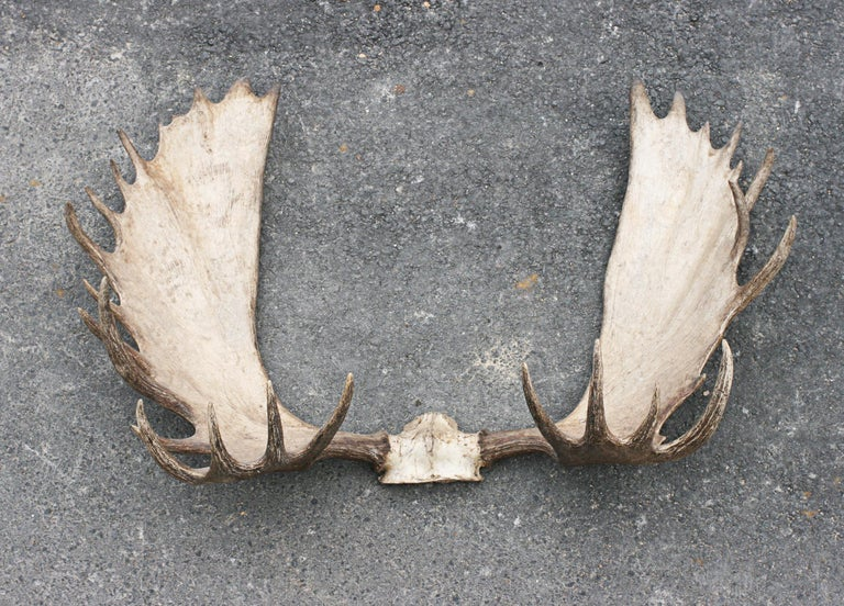 Taxidermy, very large moose antlers, palmate antlers. An exceptional pair of 30 point Alaska - Yukon Moose antlers. The antlers are with small amount of skull, just above the eye socket and comes with a copy of an award from the 'Boone & Crockett