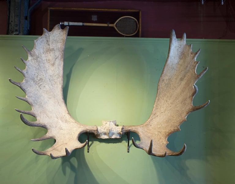 Late 20th Century Alaskan Big Game Trophy Moose Antlers, Elk For Sale