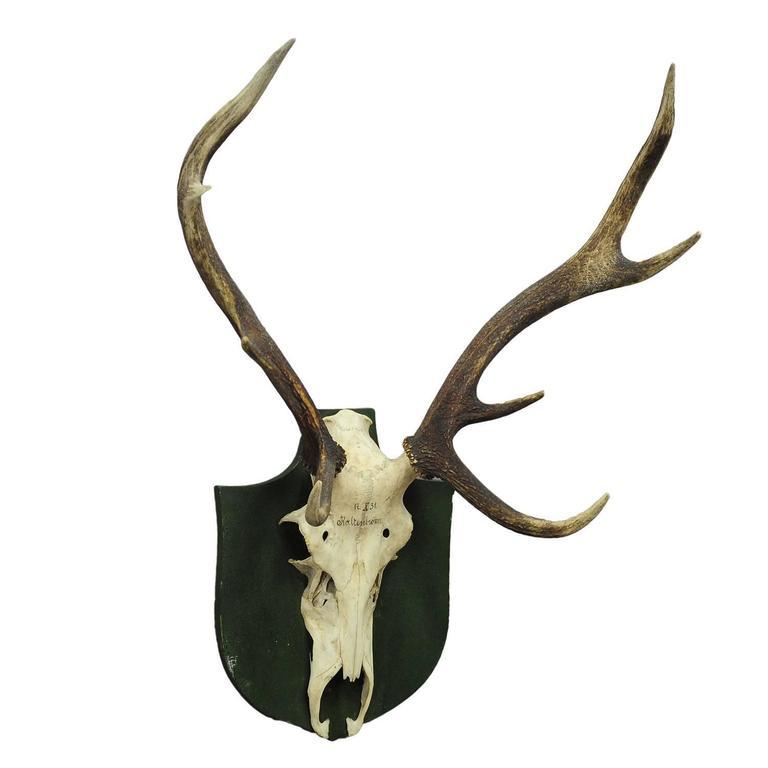 Antique Black Forest Deer Trophy from Salem, Germany, 1931