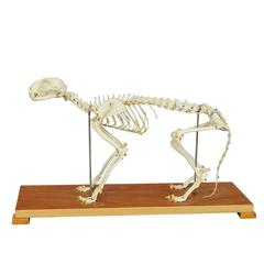 Cat Skeleton Model for Class, circa 1950