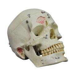 Vintage Anatomical Teaching Modell, Human Skull