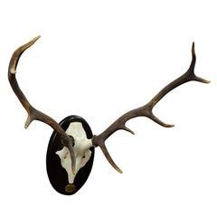 vintage deer trophy Spain El Castanar with uneven ten ends