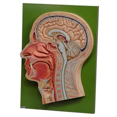 Vintage Teaching Aid Human Head Model on Wall Plate by PHYWE, circa 1960