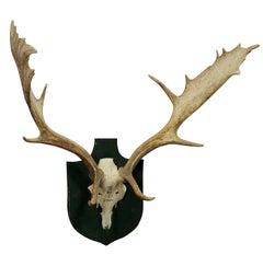 Black Forest Fallow Deer Trophy from Salem - Germany, Bodmann, 1977