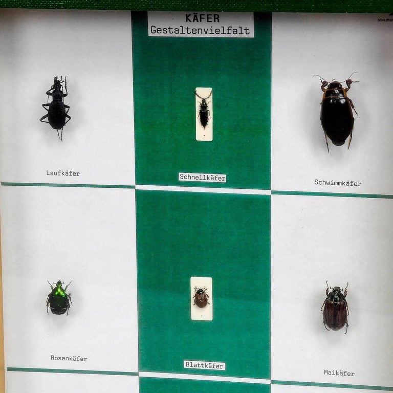 a vintage school teaching showcase with specimen illustrating the diversity of beetle shapes. used as teaching material in German schools ca. 1960. with german inscriptions.  width: 9.45