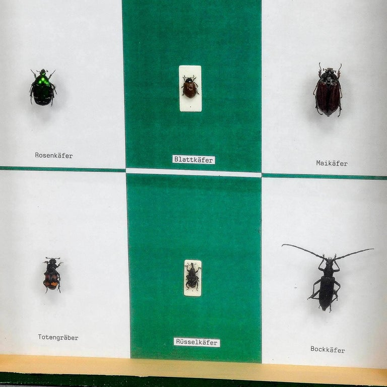 Mid-Century Modern a great vintage school teaching display - diversity of beetle shapes For Sale