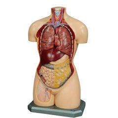 Vintage 3D Anatomical Torso by Somso, circa 1960