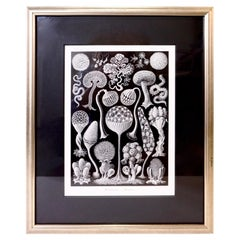 Art Forms of Nature by Ernst Haeckel, Mycetozoa