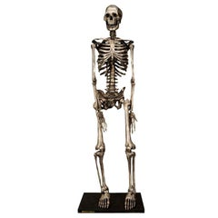Articulated Silvered Bronze Anatomically Correct Skelton