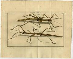 Locusta Indica. Tab. XIX.