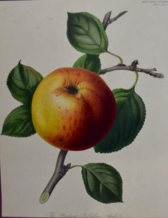 19th Century Hand-colored Engraving of a Brabant Apple by Augusta Innes Withers