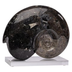 Authentic Moroccan Ammonite Fossil on Acrylic Base, Devonian Period