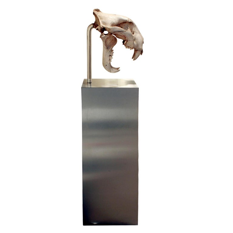 Modern Authentic Tiger Skull Mounted on Brushed Steel Base, 1970s For Sale