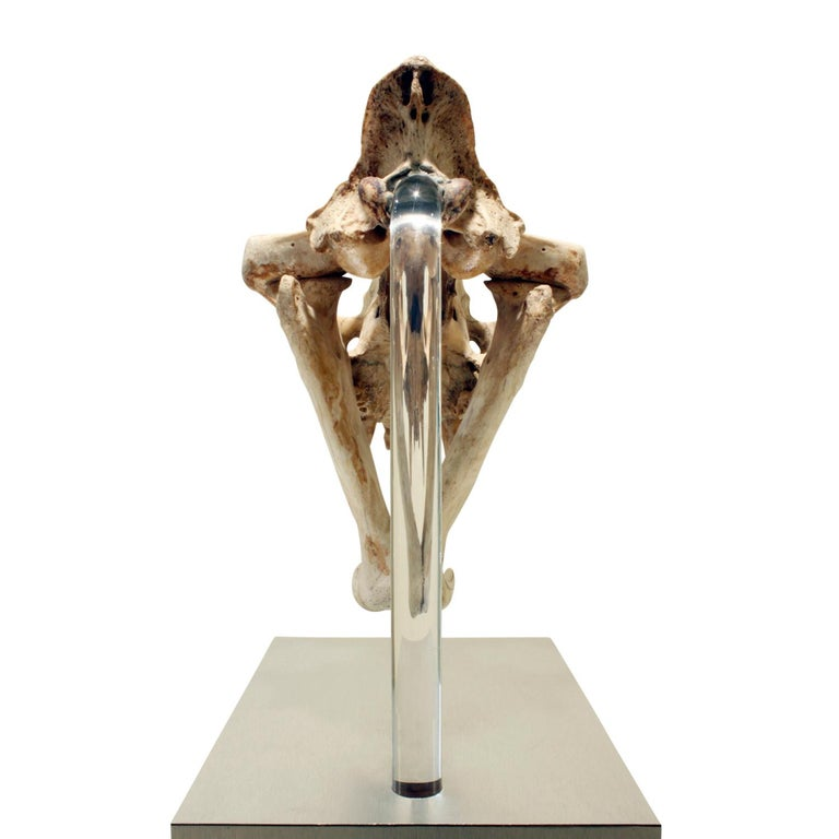 Authentic Tiger Skull Mounted on Brushed Steel Base, 1970s In Excellent Condition For Sale In New York, NY
