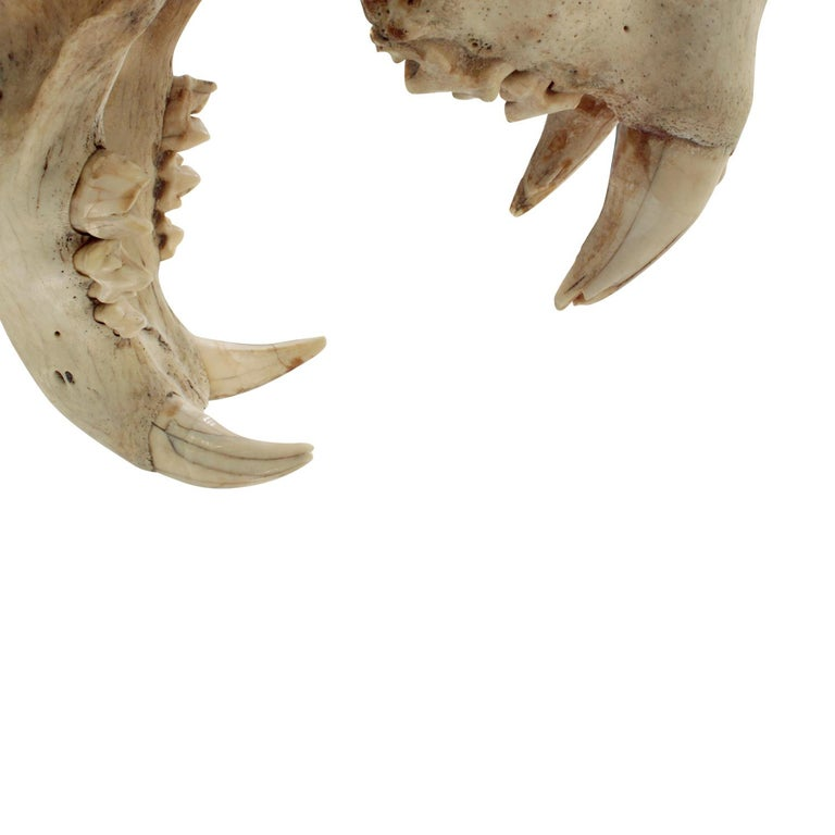 Late 20th Century Authentic Tiger Skull Mounted on Brushed Steel Base, 1970s For Sale