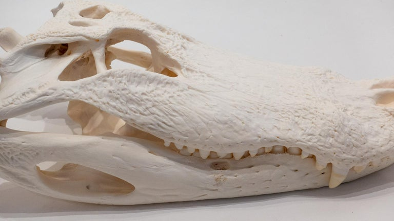 American Authentic Very Large Alligator Skull For Sale