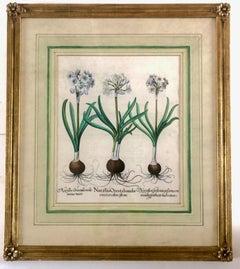 Basilius Besler Engraving Narcissus Orientalis Medio Croceus Calice Pleno