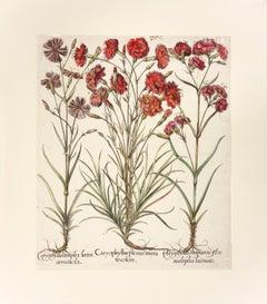 Basilius Besler Hand-colored Engraving of Caryophyllus (Carnation)