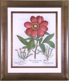 Paeonia polyanthos maior flore  (Peony)