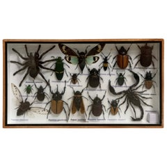 Beautiful Wooden Box or Display Case Full of Exotic Insects, Taxidermy