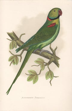 Alexandrine Parrakeet, Antique Bird Parrot Chromolithograph, circa 1885