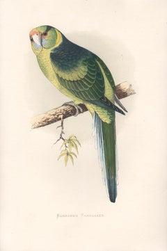 Barnard's Parrakeet, Antique Bird Parrot Chromolithograph, circa 1885