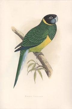 Bauer's Parrakeet, Antique Bird Parrot Chromolithograph, circa 1885