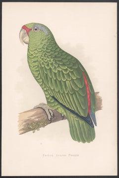 Festive Amazon Parrot, Bird Chromolithograph, circa 1885
