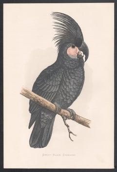 Great Black Cockatoo, Bird, Parrot Chromolithograph, circa 1885