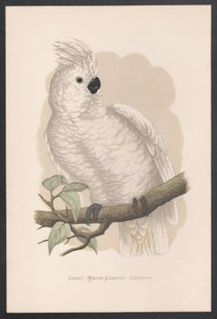 Great White-Crested Cockatoo, Bird, Parrot Chromolithograph, circa 1885