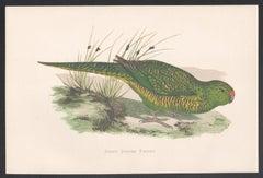 Green Ground Parrot, Bird, Parrot Chromolithograph, circa 1885